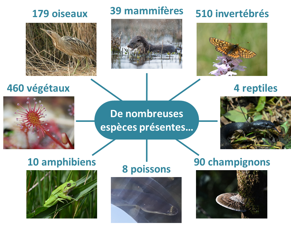 Schéma des espèces