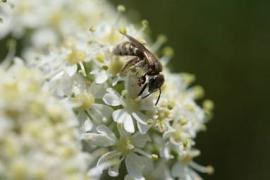 Abeille sauvage, femelle du genre Seladonia © Mael Garrin