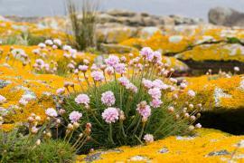 Arméries sur l'île de Drénec - © J.F. Hellio et N. Van-Ingen