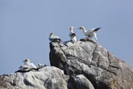 Fous de Bassan, RN des Sept-Îles - © F. Lepage / Coeurs de Nature / SIPA