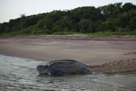 Tortue luth sur la plage de l'Amana - © O. Jobard / Coeurs de Nature / SIPA