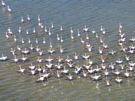 Flamants roses - © A. Gauthier