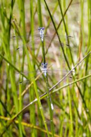 Lestes macrostigma - © O. Bonnenfant / OEC