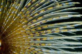 Panache de ver spirographe - © E. Amice / Coeurs de nature / SIPA