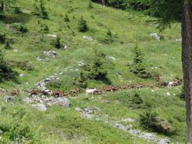 Le retour des chèvres - © RNN des Hauts de Villaroger