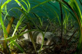 Petite roussette dans un herbier de zostères - © E. Amice / Coeurs de nature / SIPA