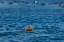 Phoque gris - © E. Amice / Coeurs de nature / SIPA