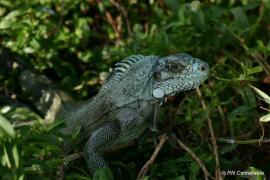 Iguane adulte - © RN Ile du Gd Connétable