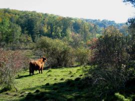Zone pâturée par des vaches Highland - © R. Leconte