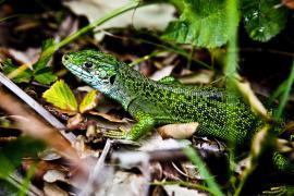 Lézard vert - © F. Lepage / Coeurs de nature / SIPA