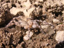 Araignée Arctosa cinerea - © RNN Val de Loire