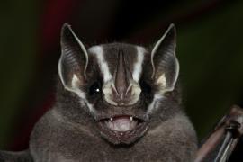 Chauve-souris Uroderma bilobatum - © M. Delaval