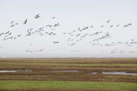 Vol de bernaches - © T. Trossat / Coeurs de Nature / SIPA