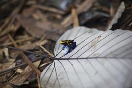 Grenouille dendrobate - © M. Cristofani / Coeurs de nature / SIPA