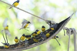 Oiseaux sucriers - © B. Celica / Coeurs de Nature / SIPA
