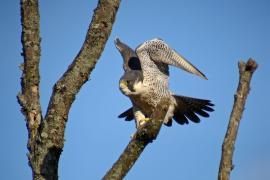 Faucon pélerin - © F. Croset