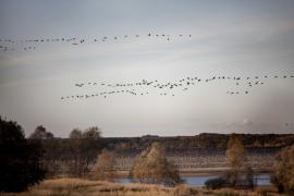 Vols de grues cendrées en automne - © M. Cristofani / Coeurs de nature / SIPA