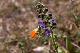 Aurore sur sauge des prés - © R. Meigneux / Coeurs de nature / SIPA
