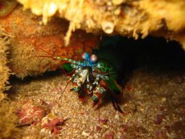 Crevette mante - © C. Pons / Coeurs de Nature / SIPA