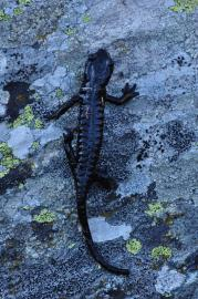 Salamandre de Lanza - © A. Bloc