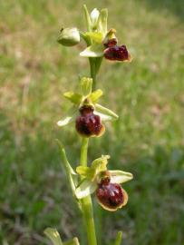 Ophrys araignée - © T. Cheyrezy