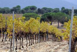 Vignes près du domaine viticole les Bertrands - © V. Damourette / Coeurs de nature / SIPA
