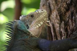 Iguane des petites Antilles - © Postdlf / Wikipedia