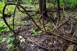 Liane dans la forêt de la Wantzenau - © J. Witt / Coeur de nature / SIPA