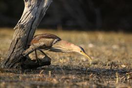 Blongios nain - © X. Rufray