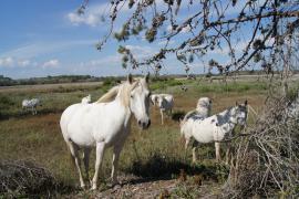 Chevaux dans la réserve - © RNN Estagnol