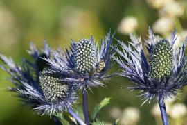 Chardon bleu - © J. Heuret