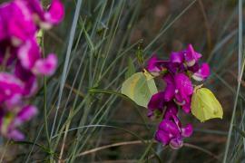 Papillons citron sur pois de senteur - © R. Meigneux / Coeurs de nature / SIPA
