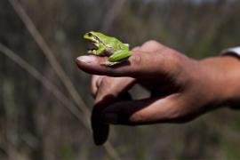 Rainette arboricole - © F. Lepage / Coeurs de nature / SIPA