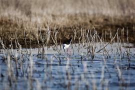 Échasse blanche - © F. Lepage / Coeurs de nature / SIPA
