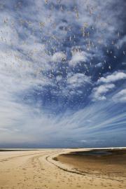 La colonie de sternes caugeks - © F. Lepage / Coeurs de Nature / SIPA