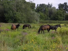 Pâturage de poneys landais - © RNN Marais de Bruges