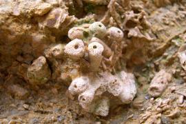 Éponges fossiles - © F. Hebert