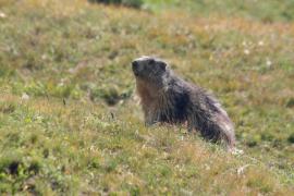 Marmotte - © P.-M. Aubertel