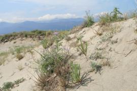 Végétation sur les dunes - © RNN Mas Larrieu