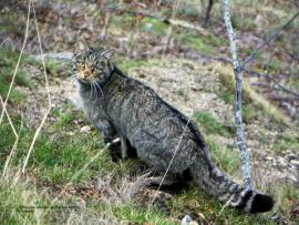 Chat sylvestre - © L. Laporte