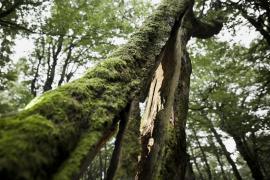 Tronc de hêtre éclaté - © L. Wen / Coeurs de nature / SIPA