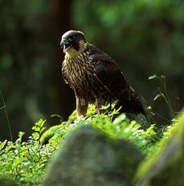 Jeune faucon pèlerin - © RN du Massif du Ventron