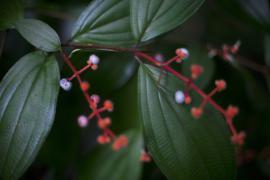Fruits de Melastomatacea - © M. Cristofani / Coeurs de nature / SIPA