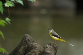 Bergeronnette des ruisseaux - © Alnus / Commons