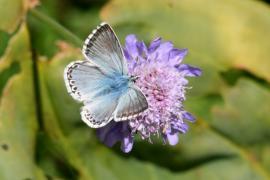 Argus bleu-nacré - © P.-M. Aubertel