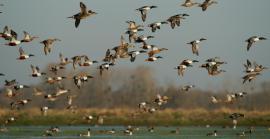 Envol d'un groupe de canards - © C. Bourgeteau