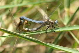 Orthétrum bleuissant - © Böhringer / Wikipedia