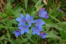 Grémil pourpre-bleu - © Hectonichus / Wikipedia