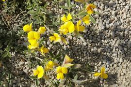 Bugrane jaune - © H. Hillewaert / Commons