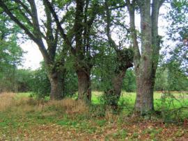 Vieux arbres têtards - © CR Pays de Loire